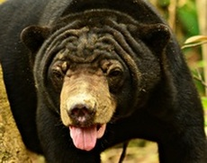 Sun bear adult male - Julaini - adoption