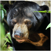Sun bear - Bermuda - adoption
