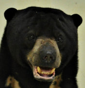 Sun bear adult male - Sigalung - adoption
