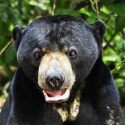 Sun bear adult male - Kudat - adoption