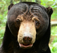 Sun bear - Om - adoption