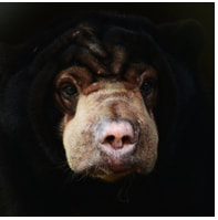 Sun bear - Amaco - adoption