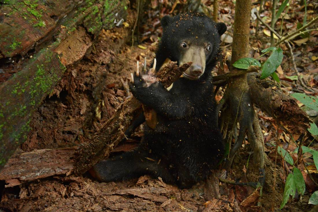 sun bears foraging