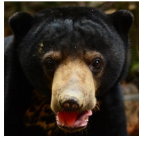 Sun bear adult male - Fulung - adoption