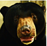 Sun bear - Linggam - adoption