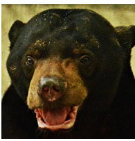 Sun bear adult male - Ronnie - adoption