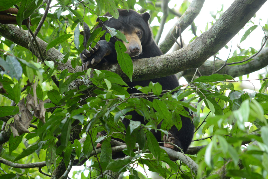 Sun bear walking in forest enclosure